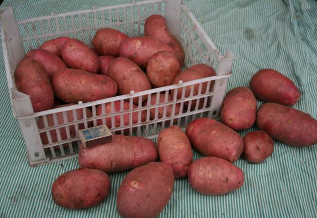 Сорт картофеля: Платина