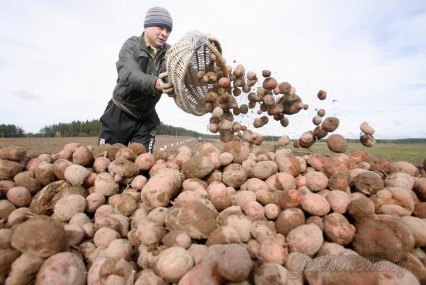 Сорт картофеля: Победа