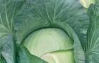 Сорт капусты белокочанной: Полар мс