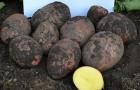 Сорт картофеля: Повинь