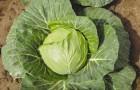 Сорт капусты белокочанной: Премьер f1