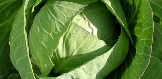 Сорт капусты белокочанной: Приморочка