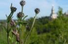 Приспособления, увеличивающие плодовитость сорных растений