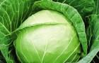 Сорт капусты белокочанной: Пруктор f1