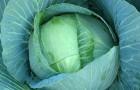 Сорт капусты белокочанной: Рамада f1
