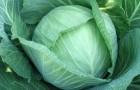 Сорт капусты белокочанной: Рамко f1