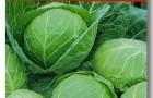 Сорт капусты белокочанной: Райма f1