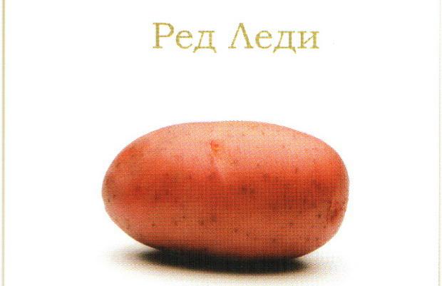 Сорт картофеля: Ред леди