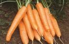 Сорт моркови: Рига рз f1
