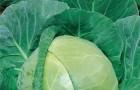 Сорт капусты белокочанной: Роксана f1