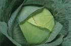 Сорт капусты белокочанной: Ромео f1