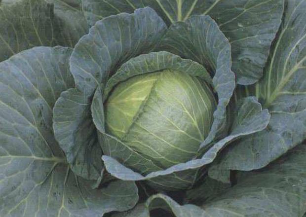 Сорт капусты белокочанной: Ройал вантаж   f1