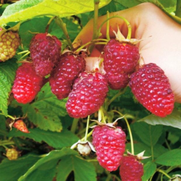 Сорт малины: Рубиновая