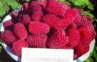 Сорт малины: Рубиновое ожерелье