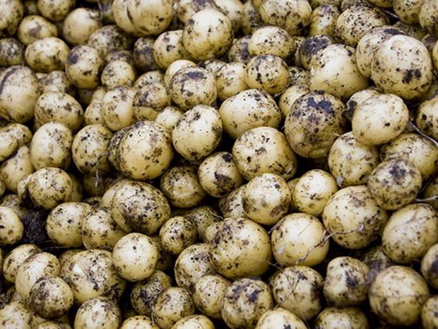 Сорт картофеля: Русский сувенир