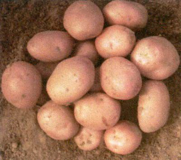 Сорт картофеля: Рябинушка