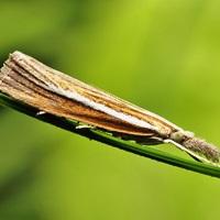 Рыженогая травянка