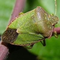 Щитник светло-зеленый