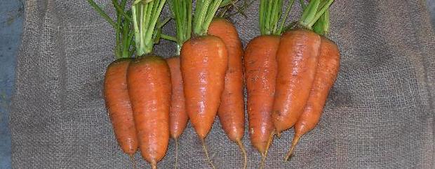 Сорт моркови: Шантенэ роял