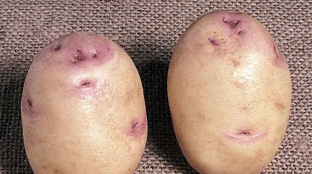 Сорт картофеля: Саксон