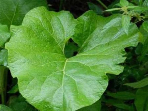 Салат из листьев лопуха с подорожником