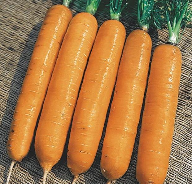 Сорт моркови: Самсон