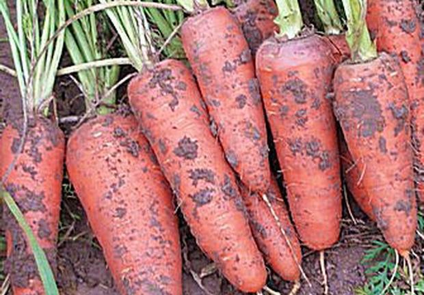 Сорт моркови: Санта круз   f1