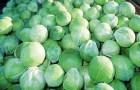 Сорт капусты белокочанной: Саратога f1