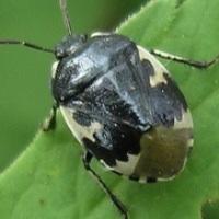 Sehirus bicolor