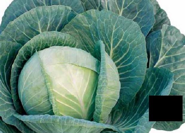 Сорт капусты белокочанной: Сельма   f1