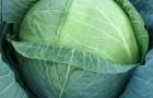 Сорт капусты белокочанной: Сесиль f1