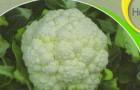 Сорт капусты цветной: Сеул f1