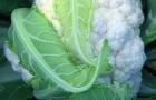 Сорт капусты цветной: Севилла f1