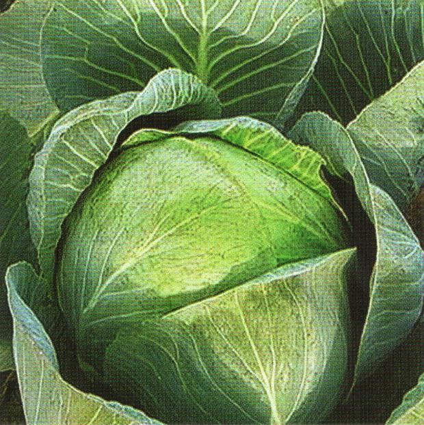 Сорт капусты белокочанной: Симона   f1