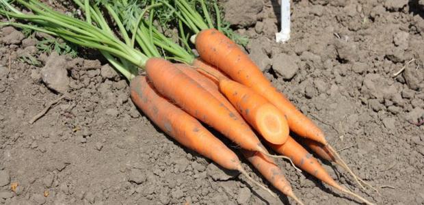 Сорт моркови: Сиркана   f1