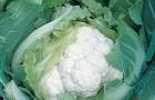 Сорт капусты цветной: Скайвокер f1