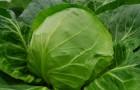 Сорт капусты белокочанной: Скороспелая