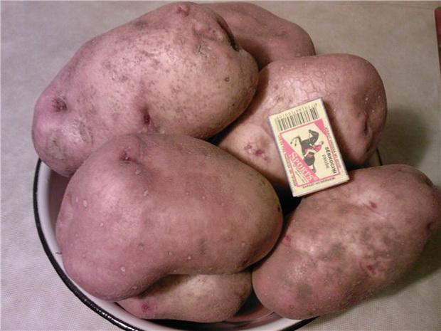 Сорт картофеля: Славянка