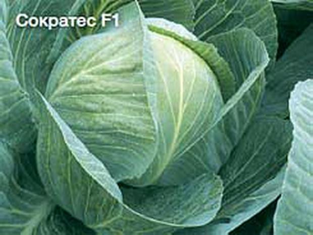 Сорт капусты белокочанной: Сократес   f1