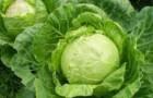 Сорт капусты белокочанной: Солоха