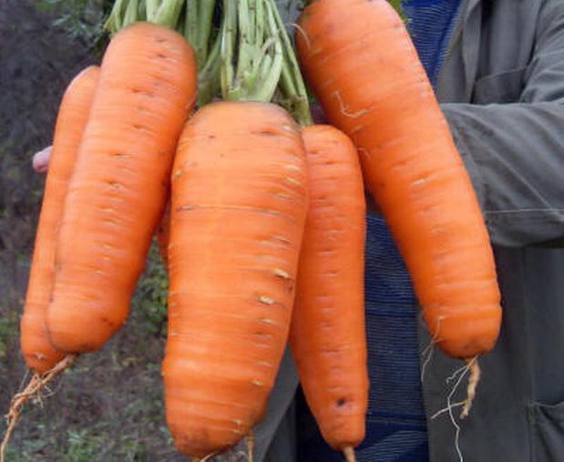 Сорт моркови: Соломон   f1