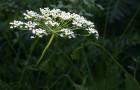 Сорняк — анис обыкновенный