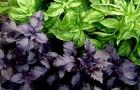 Сорняк — базилик душистый (зеленый, фиолетовый)