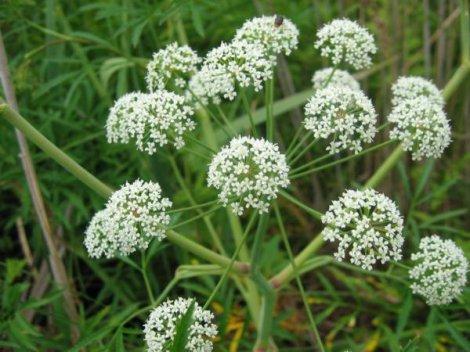 Сорняк — болиголов пятнистый или крапчатый (омег)