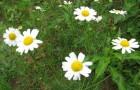Сорняк — ромашка непахучая (трехреберник непахучий)