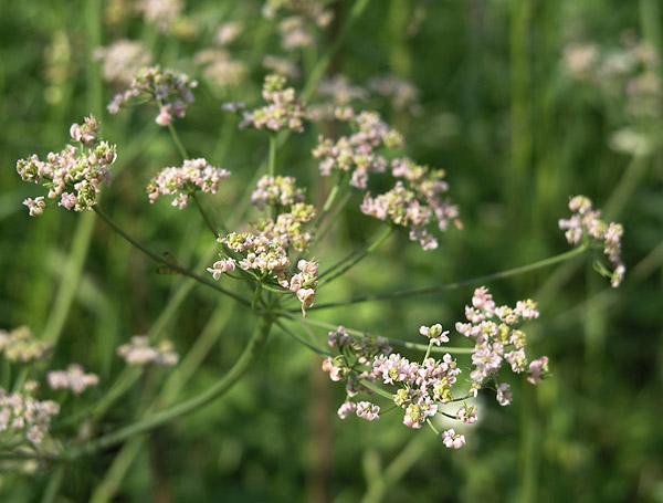 Сорняк — тмин