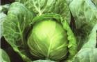 Сорт капусты белокочанной: Спидон f1