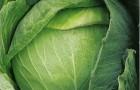 Сорт капусты белокочанной: Спринт f1
