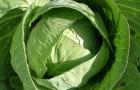 Сорт капусты белокочанной: Старт f1