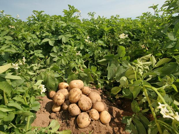 Сорт картофеля: Стемлук